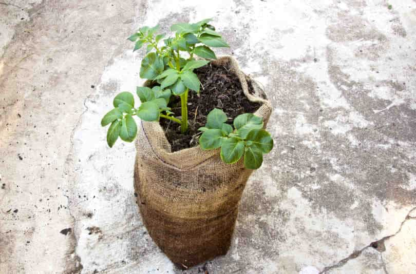 Single Potato Plant Growing in Potato Grow Bag