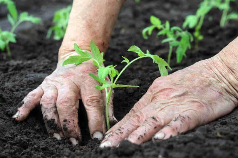 Gardener planting tomato seedling