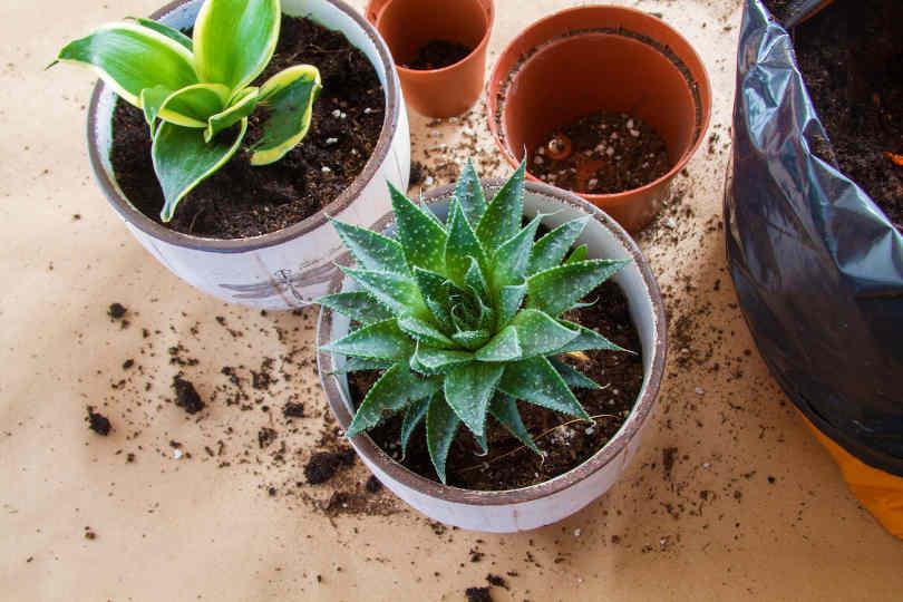 Transplanting succulent into a pot
