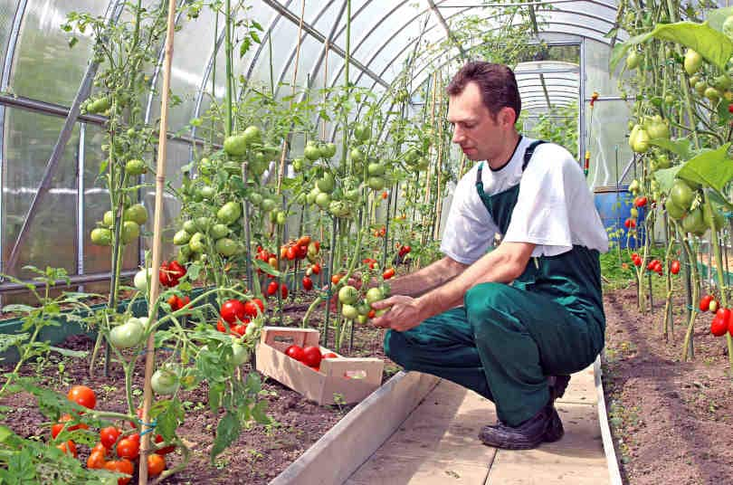 Worker harvests tomatoes in the greenhouse of transparent poly-carbonate