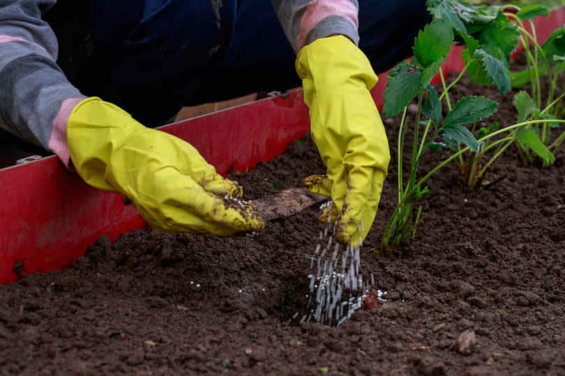 Application of fertilizers before planting strawberry seedlings