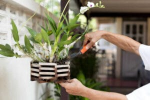 Gardener applying an nature fertilizer to his orchid flower plant