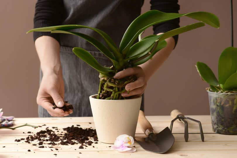 Woman adding potting mix in orchid pot