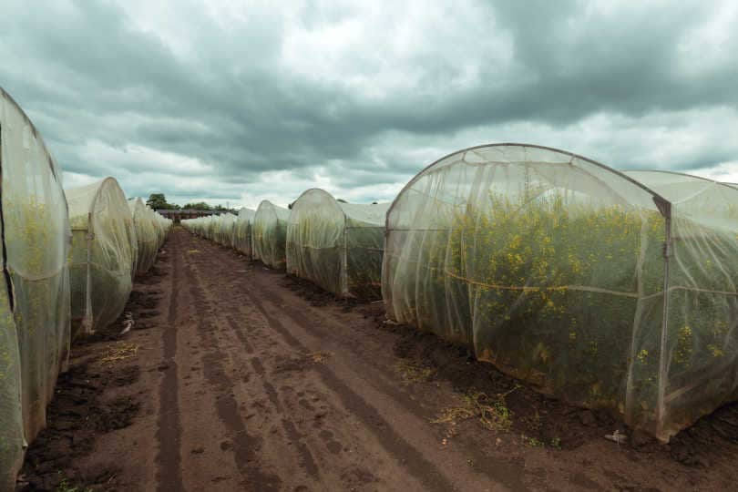 Organic sustainable growing rapeseed experiment in controlled conditions, rapeseed canola cultivated in protective net housing against insects