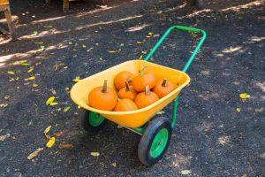 Harvest of orange pumpkins on yellow wheelbarrow