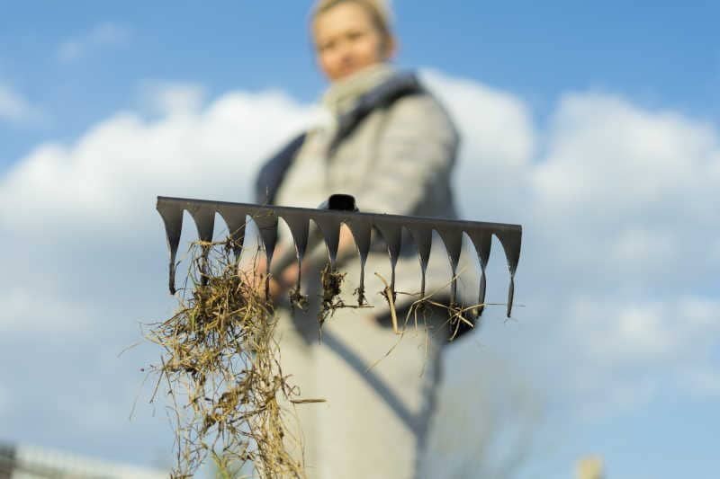 A woman in the garden with a rake in her hands removes dead grass after winter.